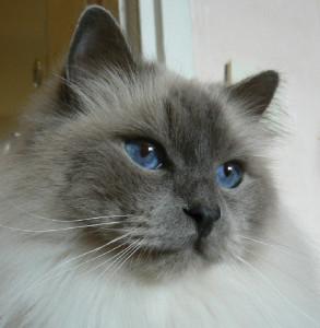 Tjejringens Goman är en blåmaskad helig birma